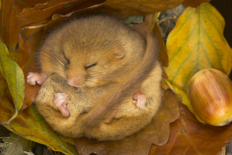 Dormouse, photo by Danny Green/2020VISION