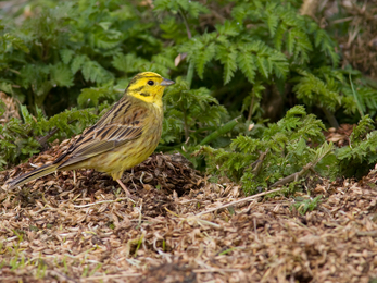 Yellowhammer, photo by Dave Kilbey