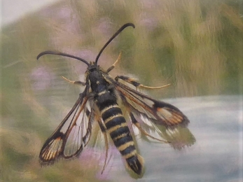 Six-belted Clearwing moth