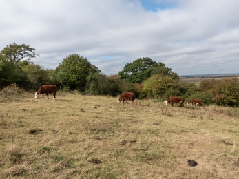 herefords on the hill
