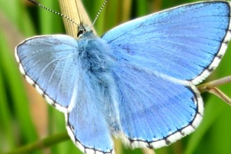 Adonis blue butterfly, photo by Emily Neighbour