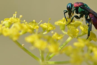 Picture of a jewel wasp