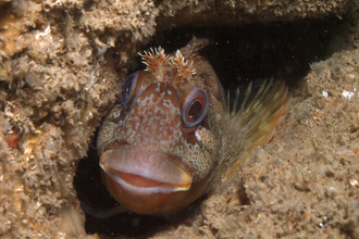 Tompot blenny, photo by Dave Wood