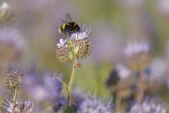 Buff-tailed bumblebee, photo by Chris Gomersall/2020VISION