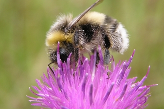 Bumblebee on knapweed, photo by Richard Moyse