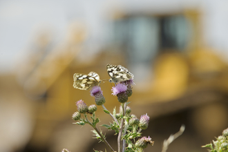 Butterflies on a construction site, photo by Terry Whittaker/2020VISION