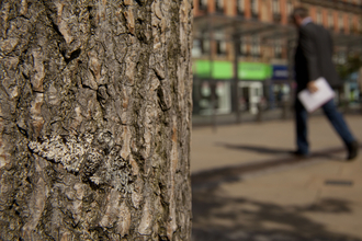 Peppered moth on tree in urban street, photo by Paul Hobson