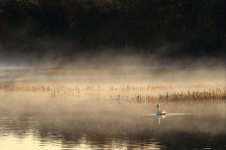 Swan in the mist, photo by Fran French