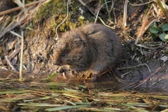 Water vole, photo by Greg Hitchcock