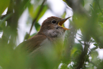 Nightingale, photo by Amy Lewis