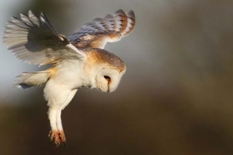 Hovering barn owl