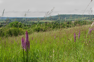 Fragrant orchid at Fackenden Down