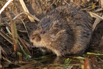 Water vole picture