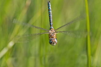 Migrant hawker dragonfly in flight - Selwyn Dennis