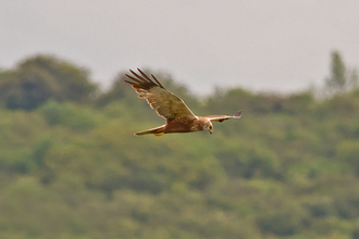 Marsh Harrier in Flight - Gary Cox
