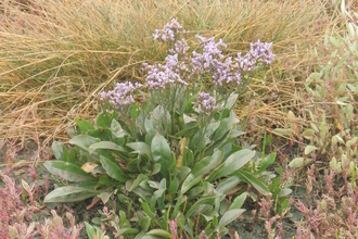 Photo of saltmarshsea, lavender Limonium vulgare, taken by  Lyndsey Rule