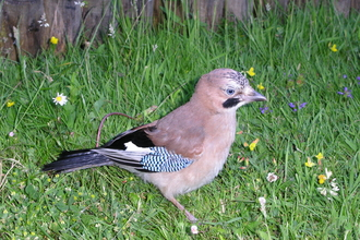 Photo of a jay by N. Hill