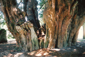 Ancient yew (Steve Young)