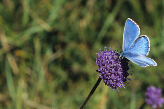 Photo of adonis on scabious (S Dennis, 2006)