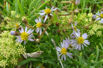 Photograph of Sea Aster by Howard Blackie