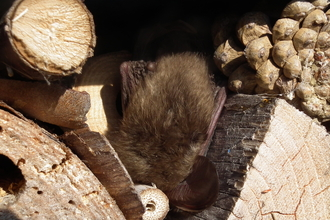 Brown Long Eared Bat on Bee Wall - Amanda Hedges