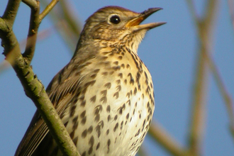 Photo of song thrush by K. Duvall