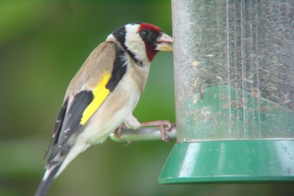 Photo of gold finch (NJM)