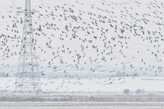 Brent geese at Graveney Marshes (c) Peter Cairns/2020Vision