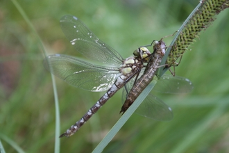 Photograph dragonfly emerging