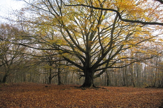 Grandfather Beech Tree at Denstead Wood