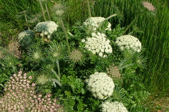 Photo of Wild Carrot (Howard Blackie)