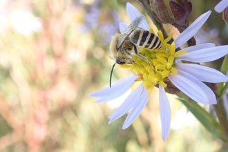 Photo of solitary bee on Sea Aster Barton's Point Coastal Park (Maria Himsworth)