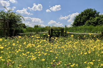 Meadow buttercups - P. Brook