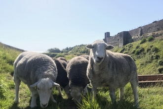 Sheep at Dover Castle