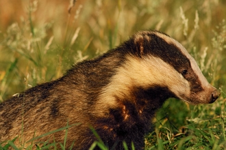Badger Meles meles Profile of an adult badger in evening light Derbyshire, UK
