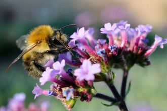Common Carder Bumblebee