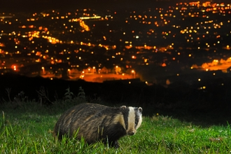 European Badger (Meles meles) North Downs above Folkestone, Kent, UK. Camera trap photo. -