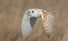 Barn Owl in flight, photo by Ian Hufton