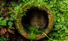 Shy water vole, photo by Philip Petrou