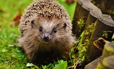 Hedgehog, photo by Tom Marshall