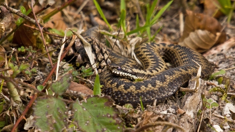 Adder, photo by Selwyn Dennis