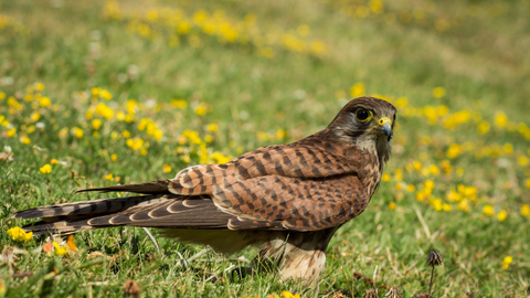 Kestrel on the grass, photo by Chris Moncrieff