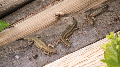 Viviparous Lizards at Polhill Bank, photo by Gareth Christian