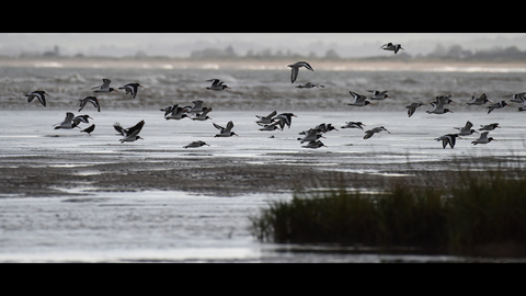 Birds at Pegwell Bay, photo by Russell Miles