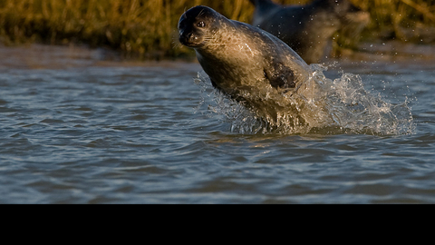 Seal at Sandwich and Pegwell Bay, photo by Russell Miles