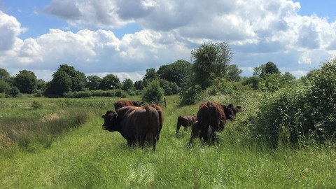 Sussex cattle at Holborough