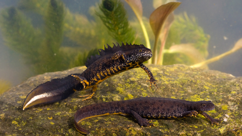 Great Crested Newt 4170