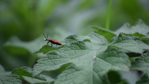 Cardinal beetle on a leaf