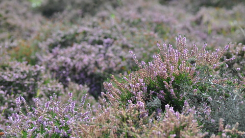Hothfield Heather