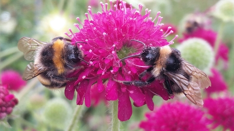 Photo of bumble bees on Knautia 7.19 (Celia Davies)